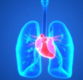 Human Heart & Lungs