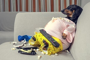 fat dog couch potato eating a popcorn, chocolate, fast food and watching television. Parody of a lazy person